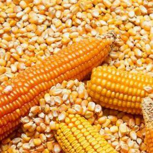 Dry Maize (kg)