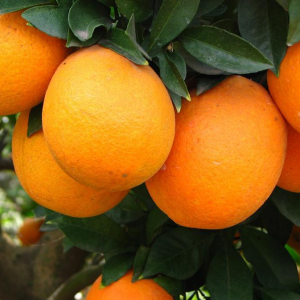 Orange (Sweet orange – Medium (4 pcs/kg))
